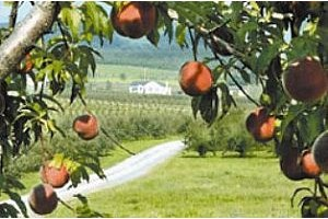 Peach Time: Festivals and Pick-Your-Own Orchards