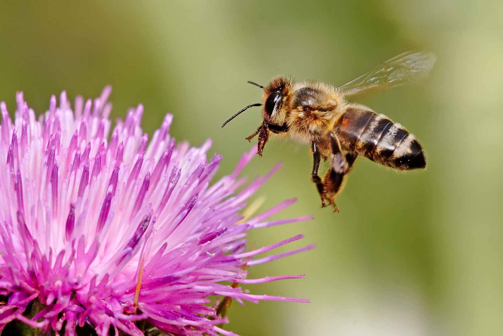 Read more about the article Make money off honeybees without touching a hive and help agriculture