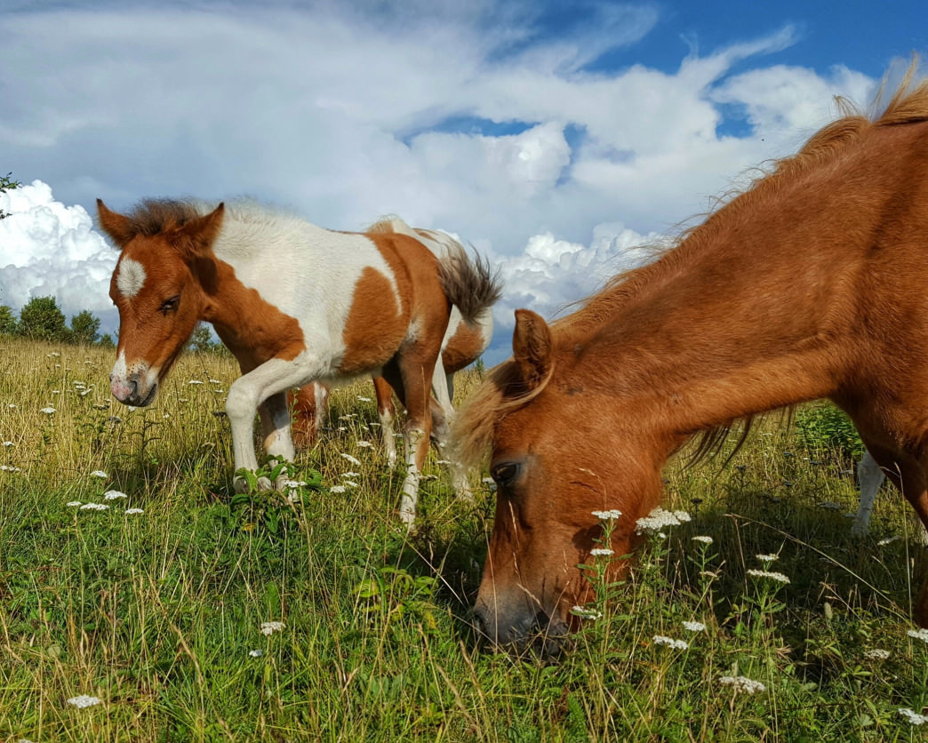 Walk along the Rhododendron Trail to see wild ponies at Grayson Highlands.