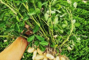 Read more about the article But Did You Know…The History of Virginia Peanuts