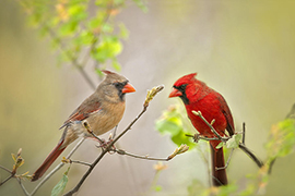The Northern Cardinal: State Bird of Virginia.